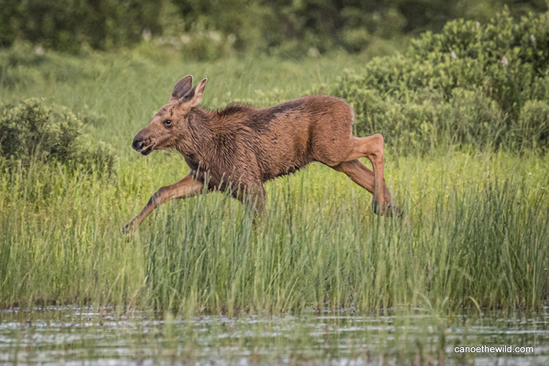 A young moose runs through the shallow water and tall grass along the river's edge.
