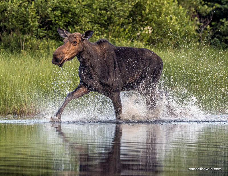 A cow moose running along the shallow river's edge on a sunny day.